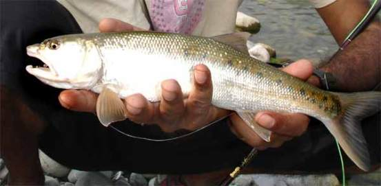 indian_trout