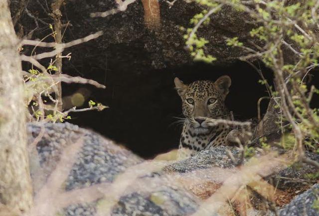 bera-female-leopard