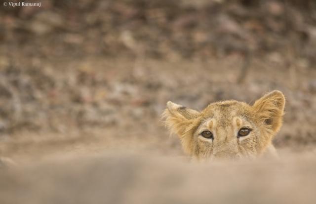 gir-national-park-lion-safari-subadult-lion (1)