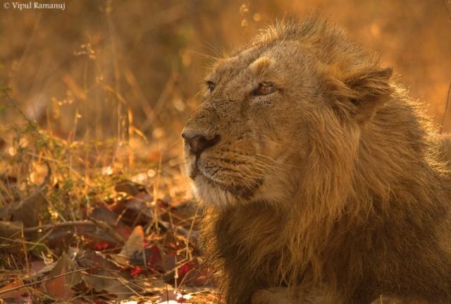 Gir-national-park-male-lion-in-park