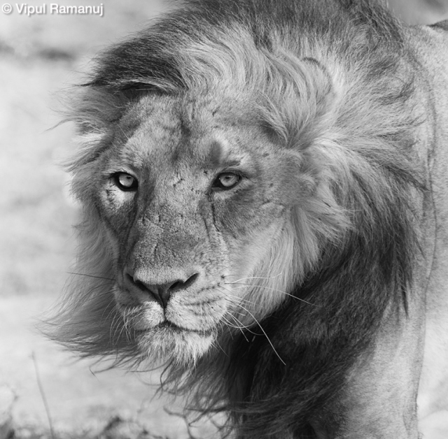 gir-national-park-male-lion