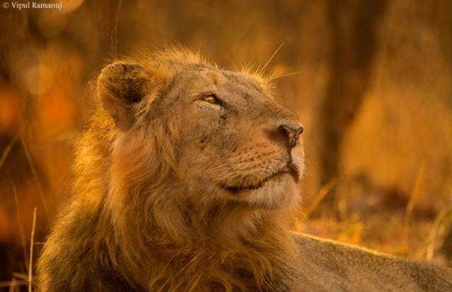 Gir-national-park-safari-booking