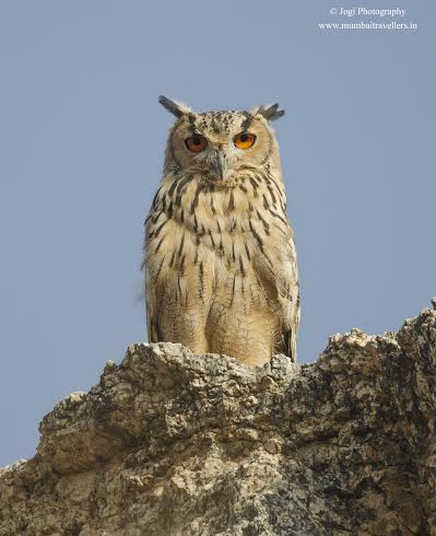 Indian-Eagle-Owl