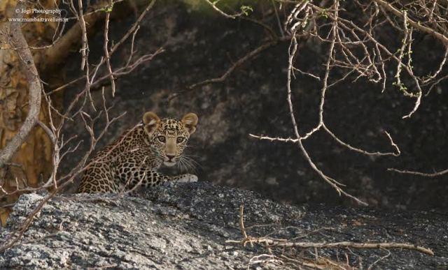 leopard-cub-bera