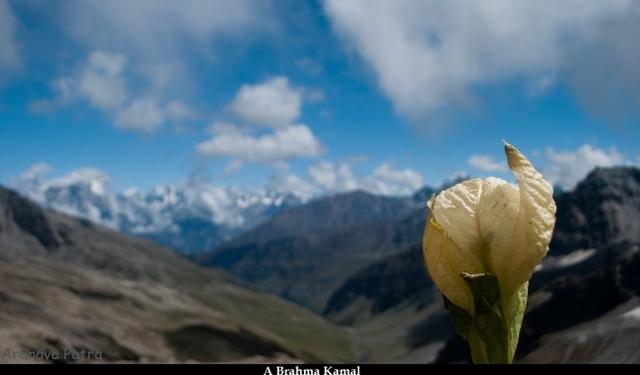 rupin-pass_brahma-kamal
