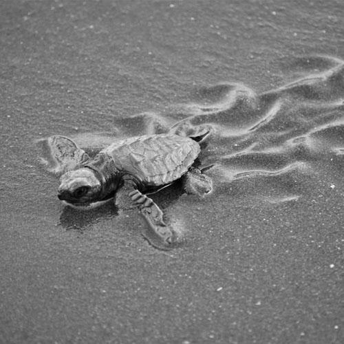 turtle-festival-velas-beach