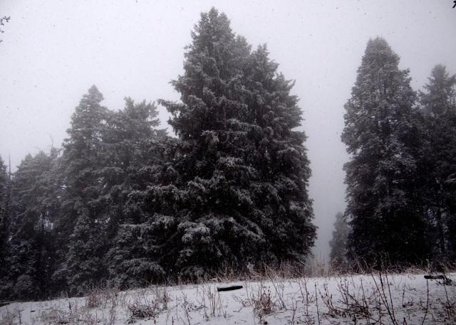 pine trees 1