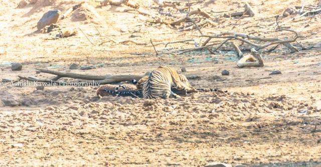 Tadoba Tiger Wildlife Safari 1