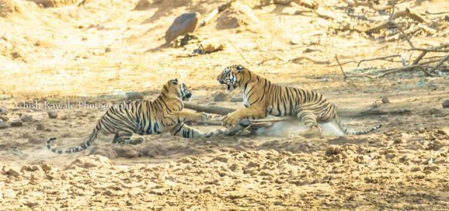 Tadoba Tiger Wildlife Safari 10