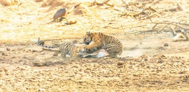 Tadoba Tiger Wildlife Safari 11