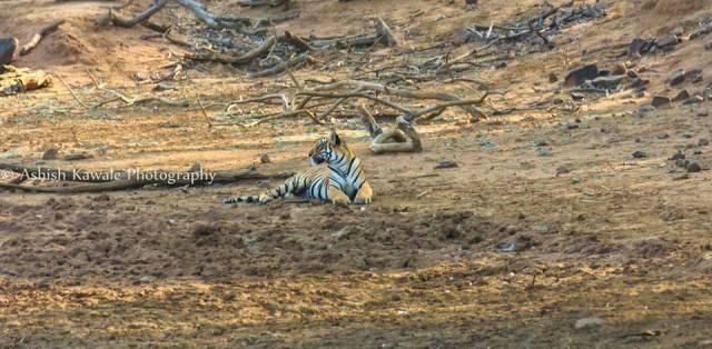 Tadoba Tiger Wildlife Safari 12