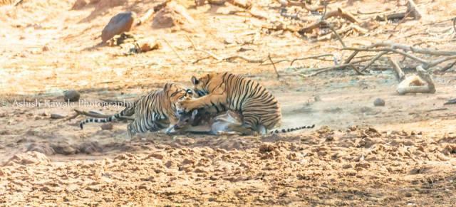 Tadoba Tiger Wildlife Safari 13