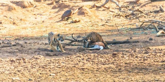 Tadoba Tiger Wildlife Safari 14