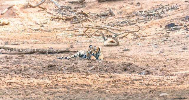 Tadoba Tiger Wildlife Safari 15