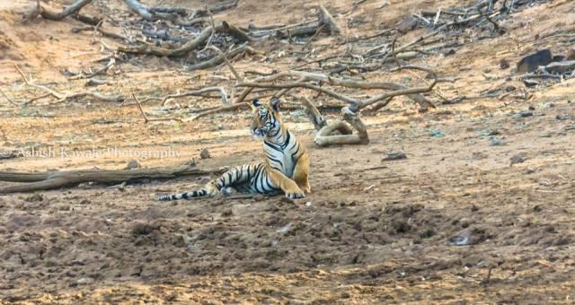 Tadoba Tiger Wildlife Safari 16