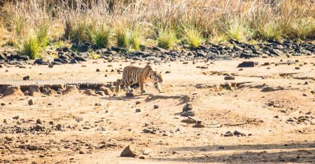 Tadoba Tiger Wildlife Safari 17