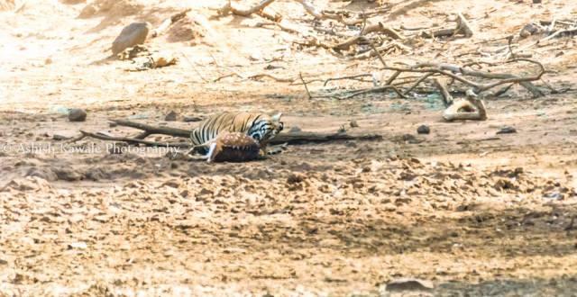 Tadoba Tiger Wildlife Safari 18