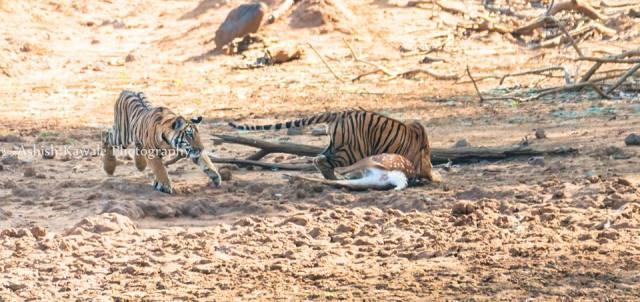 Tadoba Tiger Wildlife Safari 19