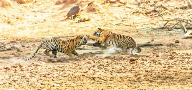 Tadoba Tiger Wildlife Safari 20