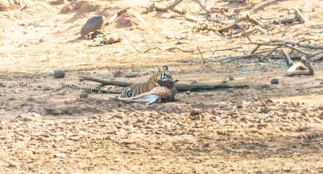Tadoba Tiger Wildlife Safari 21