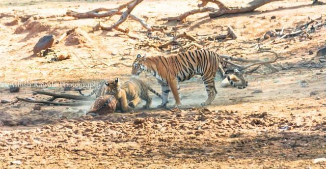 Tadoba Tiger Wildlife Safari 22