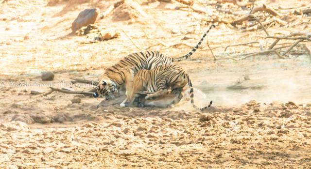 Tadoba Tiger Wildlife Safari 23
