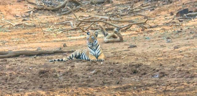 Tadoba Tiger Wildlife Safari 24