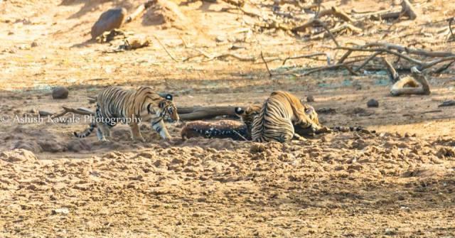Tadoba Tiger Wildlife Safari 3