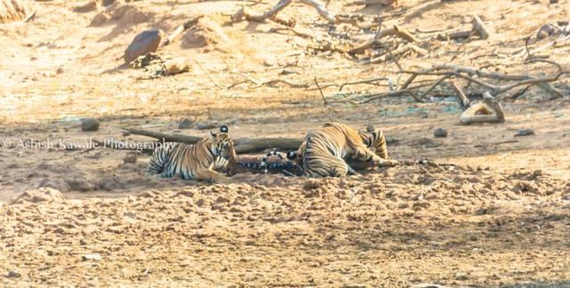 Tadoba Tiger Wildlife Safari 4