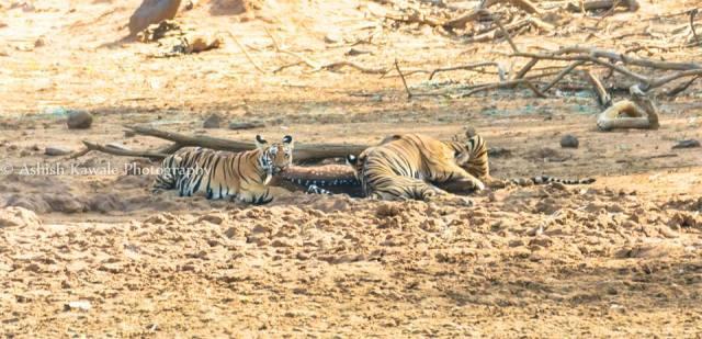 Tadoba Tiger Wildlife Safari 5