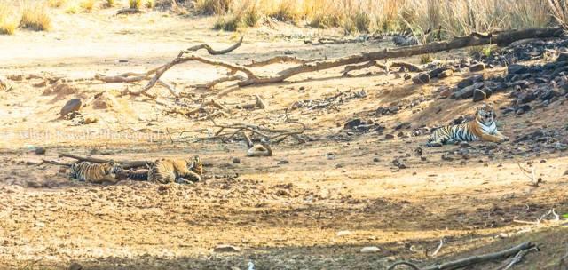 Tadoba Tiger Wildlife Safari 6