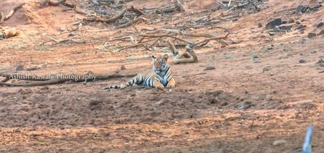 Tadoba Tiger Wildlife Safari 7