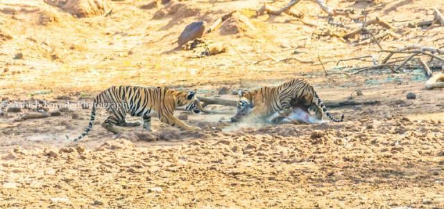 Tadoba Tiger Wildlife Safari 8