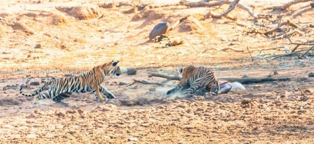 Tadoba Tiger Wildlife Safari 9