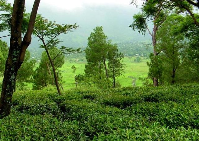 Kangra Tea Gardens